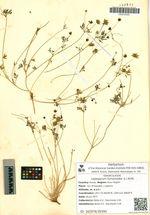Leptopyrum fumarioides (L.) Rchb.