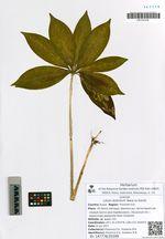 Lilium distichum Nakai ex Kamib.