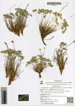 Paraquilegia microphylla (Royle) J.R. Drumm. & Hutch.