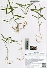 Pseudostellaria sylvatica (Maxim.) Pax