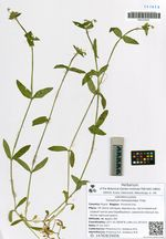 Cerastium holosteoides Fries