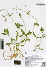 Cerastium pauciflorum Steven ex Ser.
