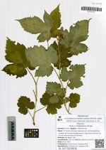 Rubus crataegifolius Bunge
