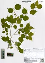 Prunus maximowiczii Rupr.