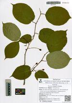Prunus sargentii Rehder