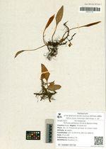 Pyrrosia petiolosa (Christ & Baroni) Ching