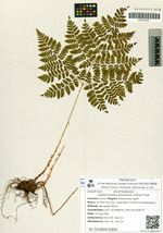 Leptorumohra amurensis (Christ) Tzvel.