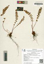 Woodsia asiatica Scmakov et Kiselev