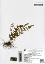 Aleuritopteris kuhnii (Milde) Ching