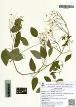 Clematis terniflora DC.