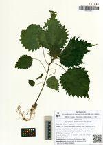 Girardinia septentrionalis Grudz.