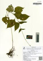 Phryma asiatica (Hara) Probat.