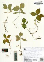 Pseudostellaria heterophylla (Miq.) Pax