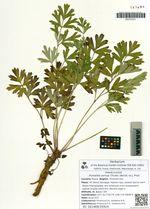 Pulsatilla cernua (Thunb.) Bercht. ex J. Presl