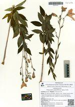 Platycodon grandiflorus (Jacq.) A.DC.