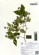 Philadelphus tenuifolius Rupr.