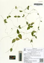 Pseudostellaria davidii (Franch.) Pax