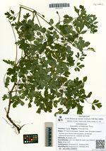 Corydalis ochotensis Turcz.