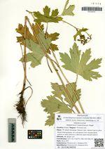 Delphinium maackianum Regel