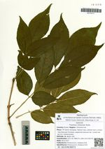Fraxinus chinensis Roxb.