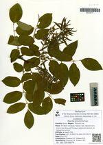 Maackia amurensis Rupr.