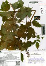 Actaea acuminata Wall.ex Royle var. asiatica (Hara) Luferov