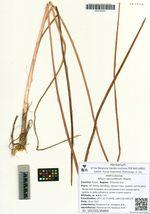 Allium sacculiferum Maxim.