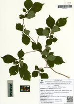 Ulmus japonica (Rehder) Sarg.