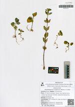 Hylotelephium viviparum (Maxim.) H. Ohba