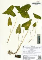 Viola hirtipes S. Moore