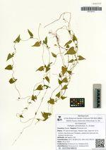Fallopia convolvulus (L.) Á.Löve