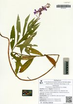 Chamerion angustifolium (L.) Holub
