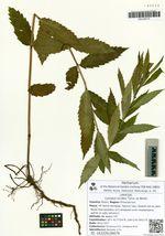 Lycopus lucidus Turcz. ex Benth.
