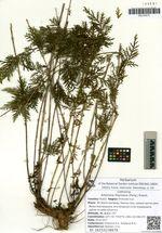 Artemisia freyniana (Pamp.) Krasch.