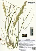 Calamagrostis extremiorientalis (Tzvel.) Probat.