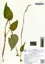Persicaria bistorta (L.) Samp.