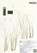 Rhynchospora faberi C.B.Clarke