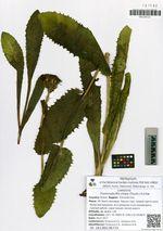 Trommsdorffia ciliata (Thunb.) H.S.Pak