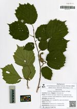 Corylus mandshurica Maxim. et Rupr.