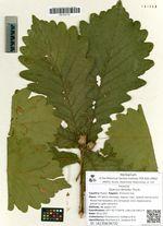 Quercus dentata Thunb.