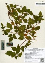 Rubus komarovii Nakai