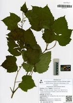 Ampelopsis heterophylla Blume