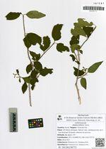 Abelia biflora Turcz.