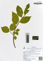 Euonymus maximowiczianus (Prokh.) Vorosch.