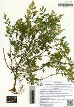 Crepidiastrum chelidoniifolium (Makino) Pak & Kawano