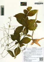 Adenophora pereskiifolia (Fisch. ex Schult.) G.Don