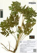 Kitagawia terebinthacea (Fisch. ex Trevir.) Pimenov subsp. trichootheca Pimenov