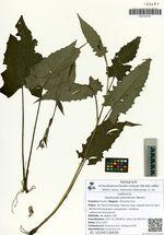 Saussurea ussuriensis Maxim.