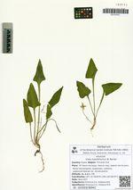 Viola mandshurica W. Becker