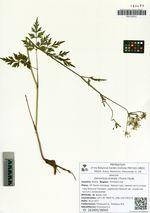 Osmorhiza aristata (Thunb.) Rydb.